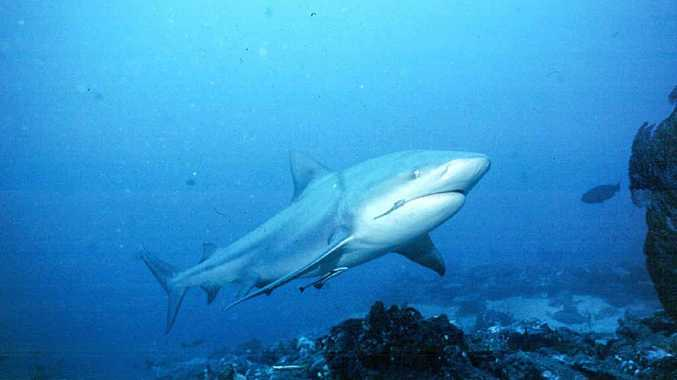 A bull shark, one of the species targeted for shark-safety management.