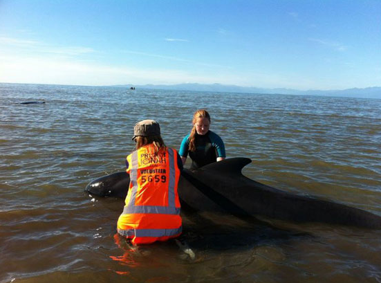 Volunteers try to save stranded whales at Farewell Spit.