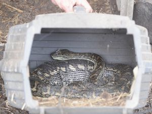 Carpet snake devours pet chicken