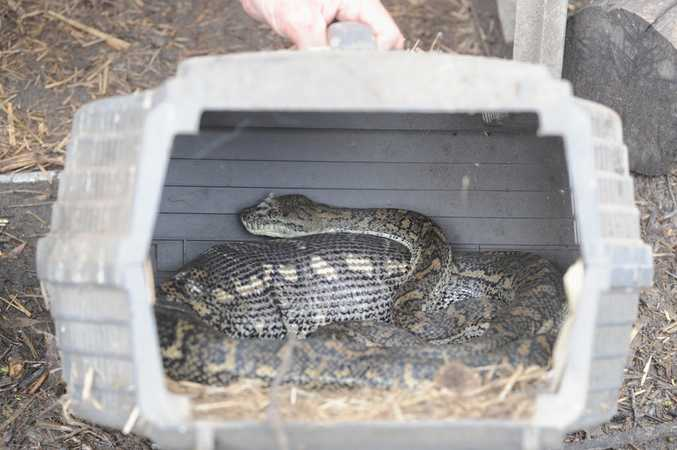 Carpet snake with a chook in its belly at Burrum Town.