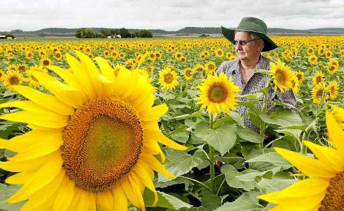 Felton farmer Bob Free stands among a bumper sunflower crop. His sunflower and sorghum fields have come to life in what he says is one of the best seasons in years.