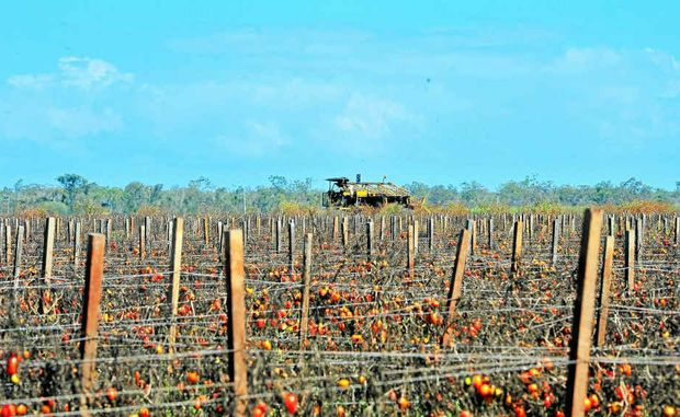 Tomatoes die on the vine at an SP Exports property on Goodwood Rd, where neighbours say harvesting machinery has sat idle for weeks.