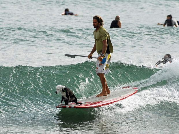Every man and his dog at First Point Noosa. Photo: Geoff Potter