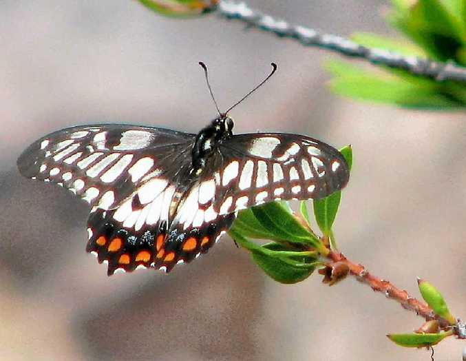Encourage a dainty swallowtail butterfly into your backyard.