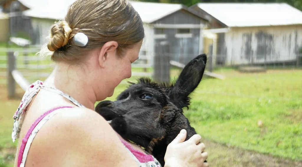 Angela Scheers with alpaca Duchess at Cedar Galleries, Benaraby.