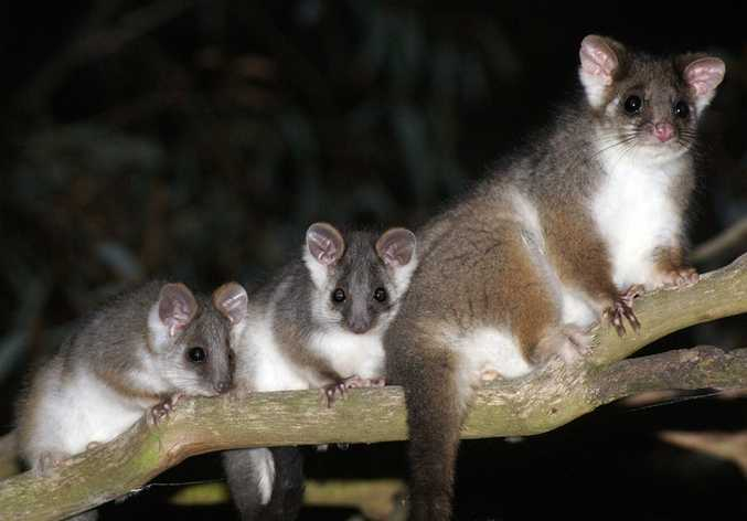 A family of possums sit on a tree branch.