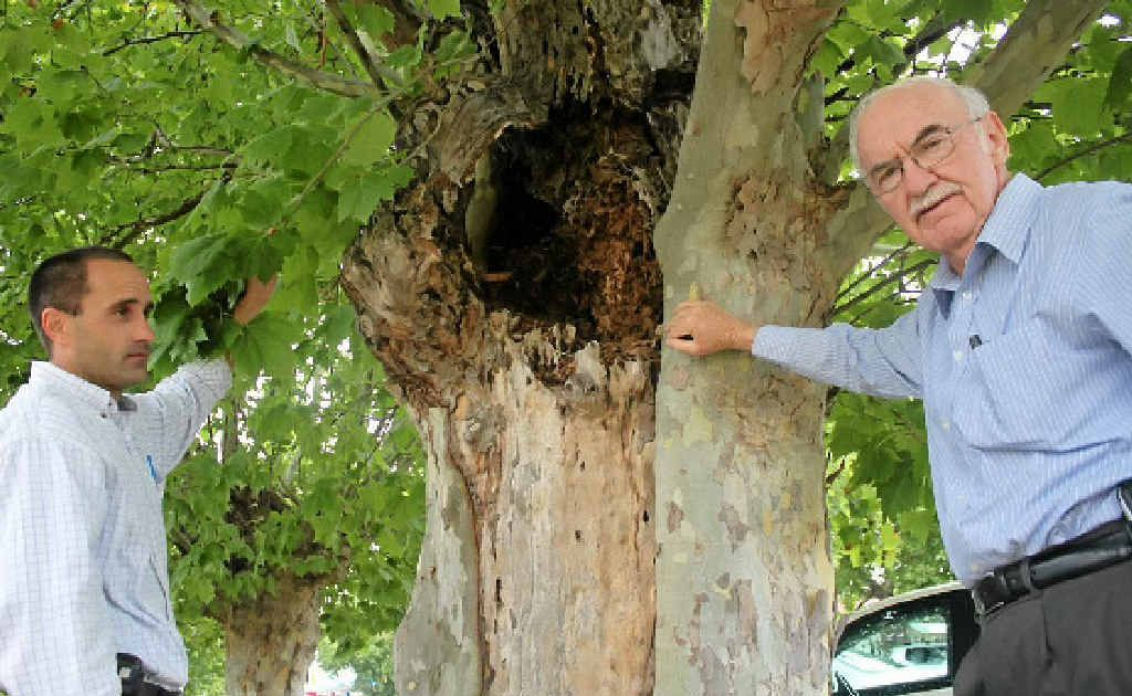 Manager of parks and projects Michael Bell shows mayor Ron Bellingham rot in the Guy St trees.