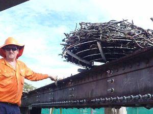 Cradling future of ospreys