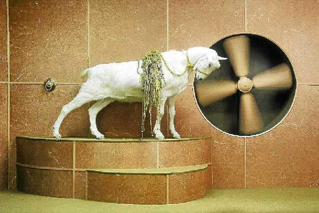 Goat Odyssey 2006 by Hayden Fowler, digital video
