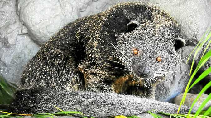ESCAPE LATCHED: Jaya, the 14kg binturong from Australia Zoo, has made it safely home after he escaped from the zoo 17 days.