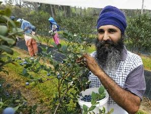 Hartsuyker: Blueberry farms show need for 457 visas