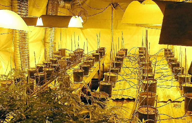 One of the cannabis plantations found by police during a raid on the defendant's Pimlico Road, Wardell property on June 15 2011
