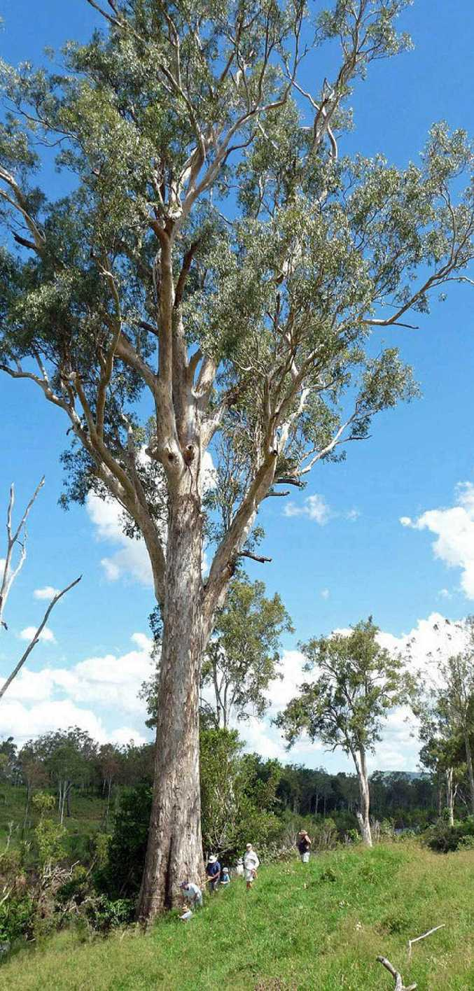 Somerset's biggest tree, a forest red gum (eucalyptus tereticornis), is the biggest of its kind in Australia.