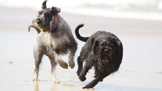 Dogs without leashes roam free on beaches.