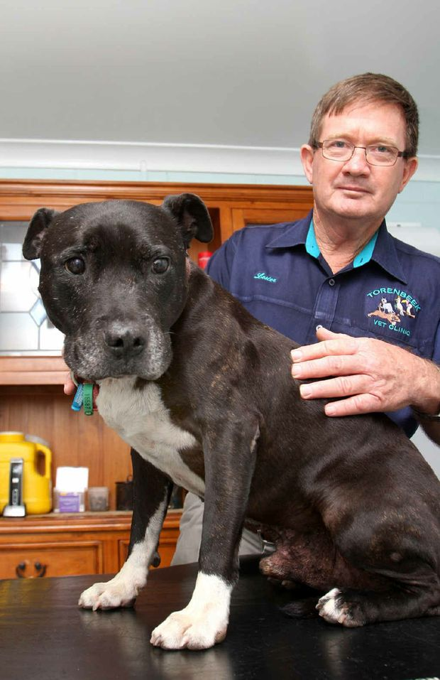 Dr Lester Torenbeek gives Tiger, a staffordshire terrier, a check over to see if he is gaining any excess weight.