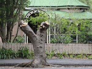 Council prunes tree to save it