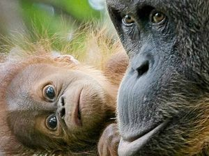 Group aims to save orangutans