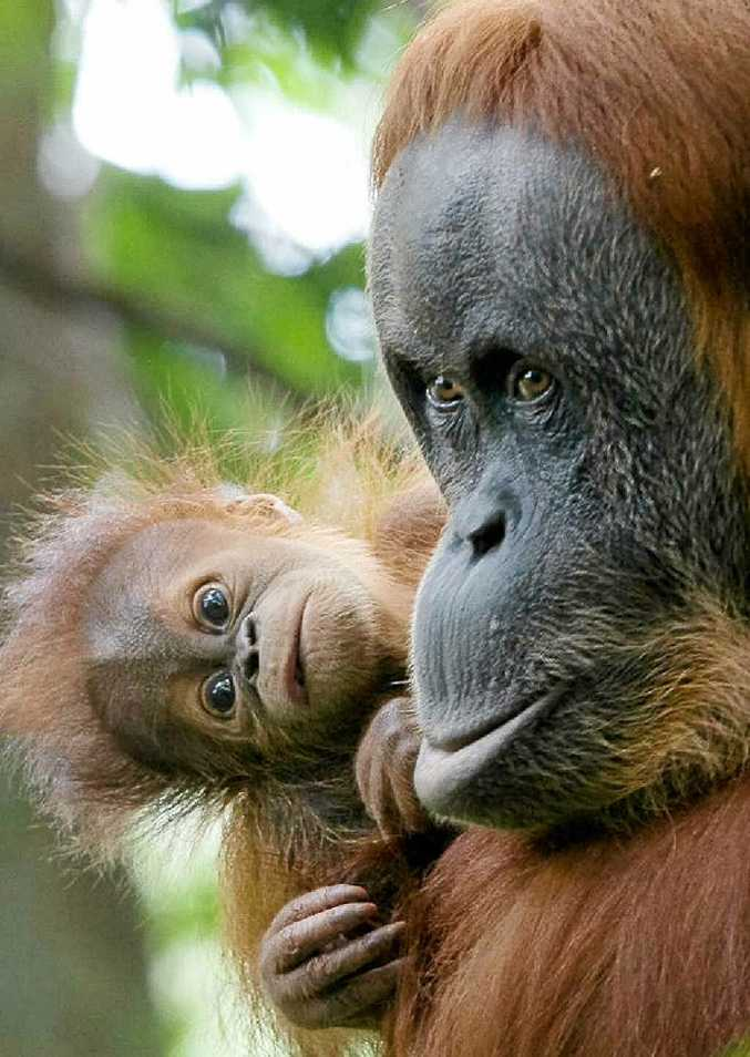 Rainforest Rescue chief executive officer Kelvin Davies said the orangutan population on Sumatra had dwindled to only 6624.