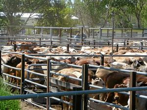Store cattle bring $1.3 million