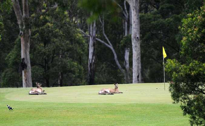 Kangaroos lounge on the greens at the Grafton Golf Club in South Grafton.