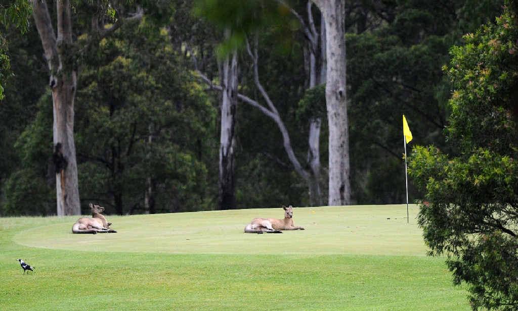 Kangaroos lounge on the greens at the Grafton Golf Club in South Grafton.