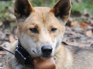 Dingo died 'a cruel' death