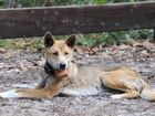 DERM says the dingo that died had been restrained with a noose after being caught by the leg in a soft-jaw trap.