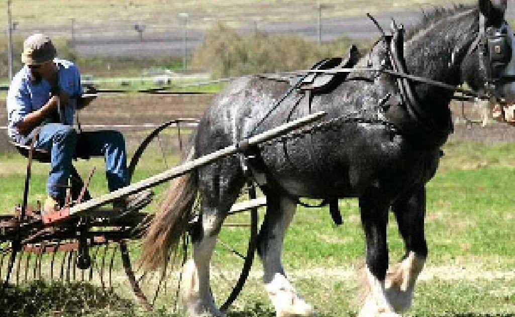 Mick Bradford Junior operates a horse-drawn hay rake.