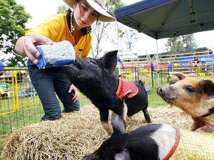 Six little piggies hog limelight