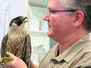 'Falconed' bird on the mend