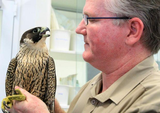 Currumbin Wildlife Hospital head vet Michael Pyne with Bundy the recovering Perigan Falcon.