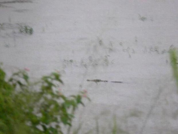 Facebook photo of a croc in a cane paddock.