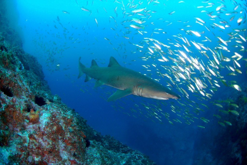 NSW Fisheries is chairing stakeholder meetings along the coast discussing the future of grey nurse shark protection.