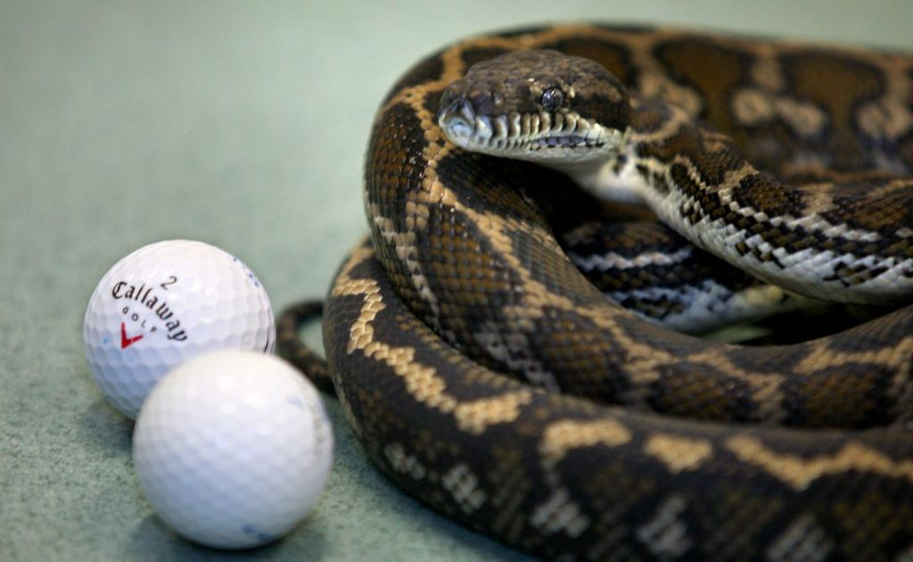 Callaway was operated on after he swallowed golf balls that he believed to be eggs.