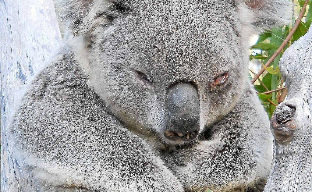 Koalas have got the nod over a supermarket at Pottsville, but some businesses aren't happy.