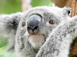 Bob Brown's koala legacy