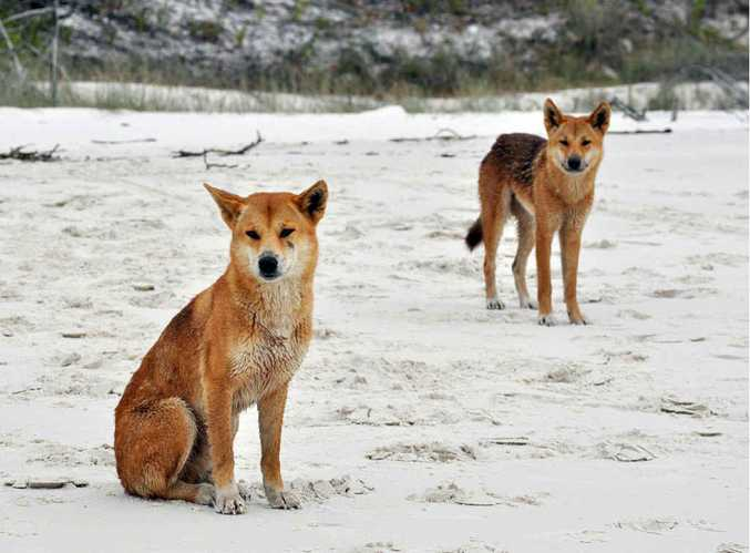 Dingoes on Fraser Island have been monitored thanks to a GPS device on their collars.