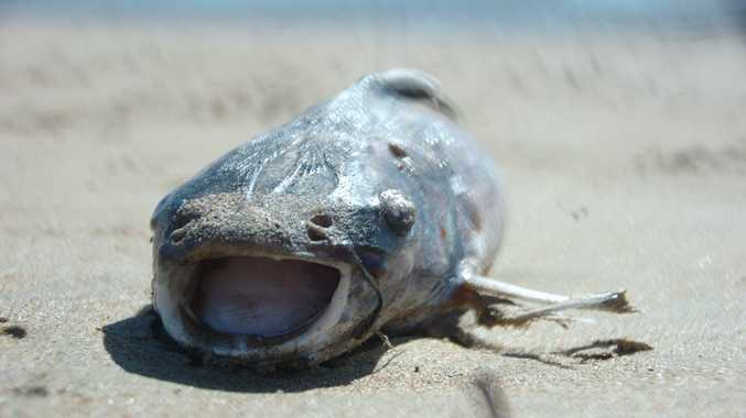 More than 100 dead catfish have been found at the Boyne River Mouth in recent days. Photo David Sparkes / The Observer