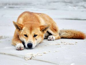 Dingoes not fed near camp: owner