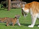 Our new aunty is a real tiger