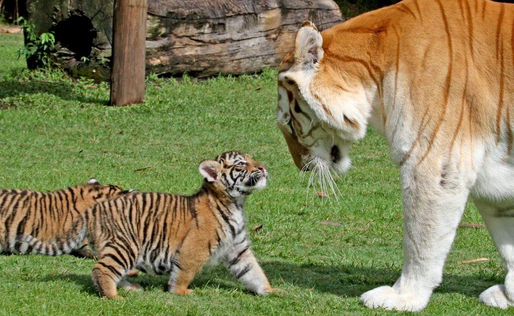 Dreamworld's six-week-old tiger cubs meet their new