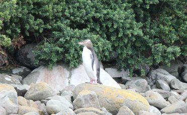 A hoiho on the shoreline.