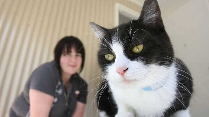 Domestic shorthair Bobby is one of the cats being offered for $49 at the AWL rehoming centre. AWL Animal Care officer Alesha Sharpe is in the background.