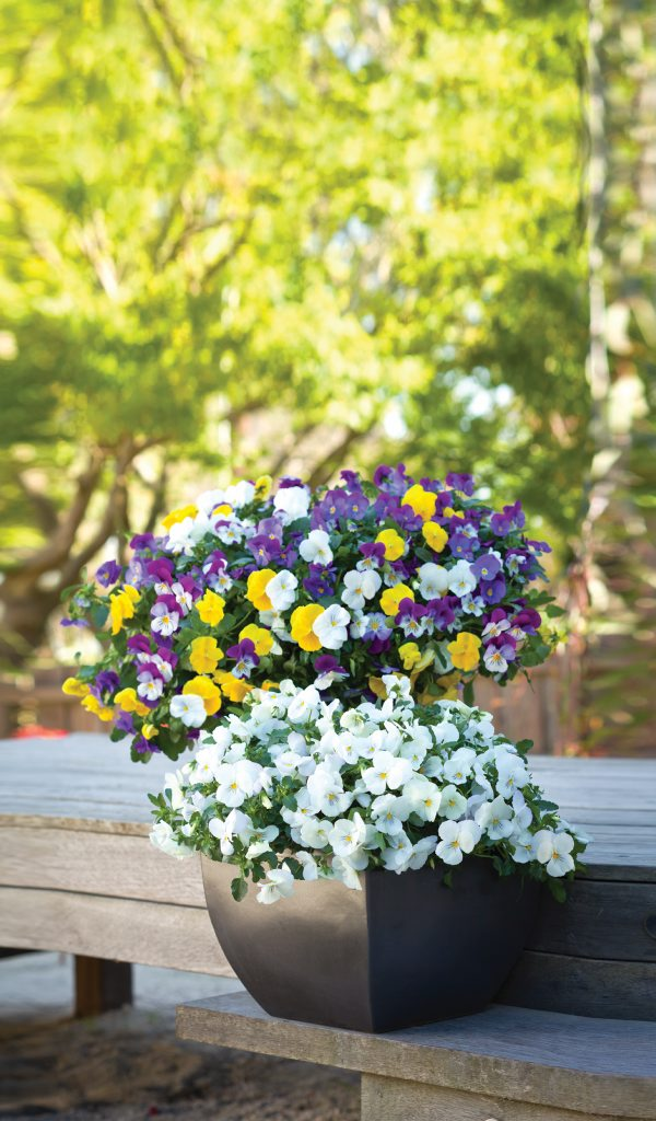 BRILLIANT: The new yellow Plentifall Pansies are show stoppers.