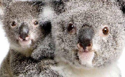 Koalas.