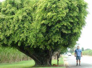 Memorial fig trees cloning begins