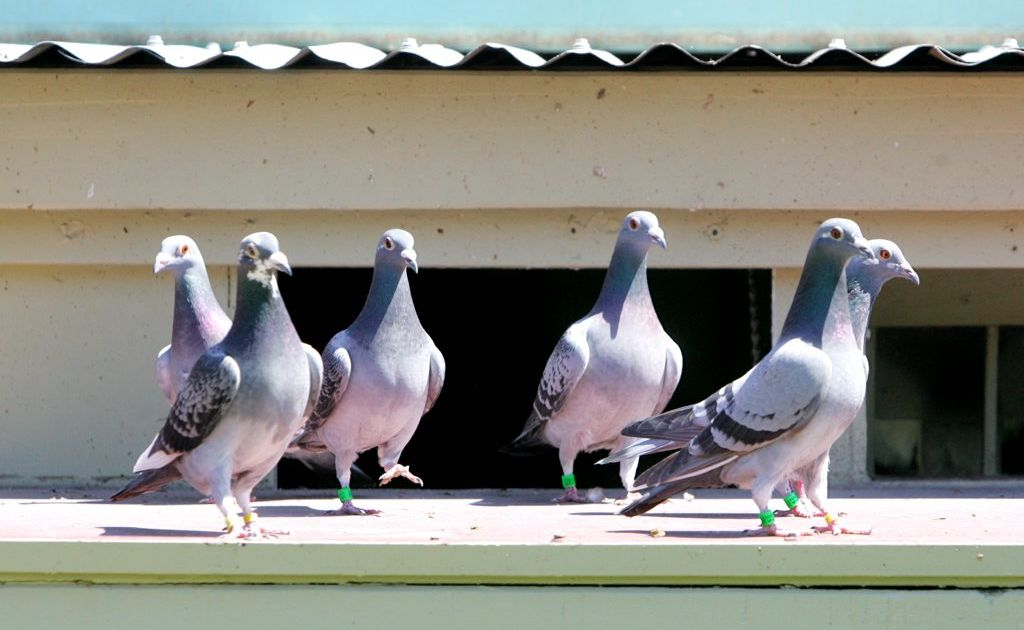 A 1995 study showed pigeons can be trained to recognise works of art by famous painters.