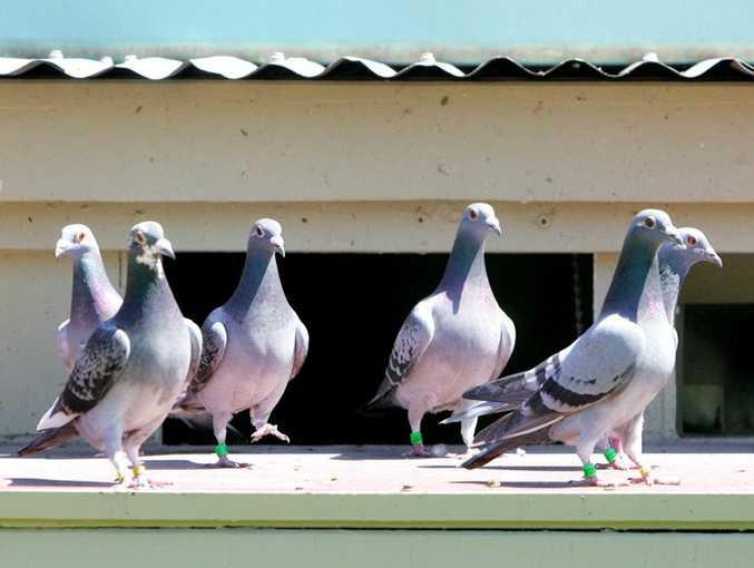 A Pottsville man reckons we should eat pesky pigeons.