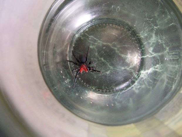 The Red-headed Mouse Spider has a bite full of toxic venom that is currently treated by Funnel-web spider anti venom.