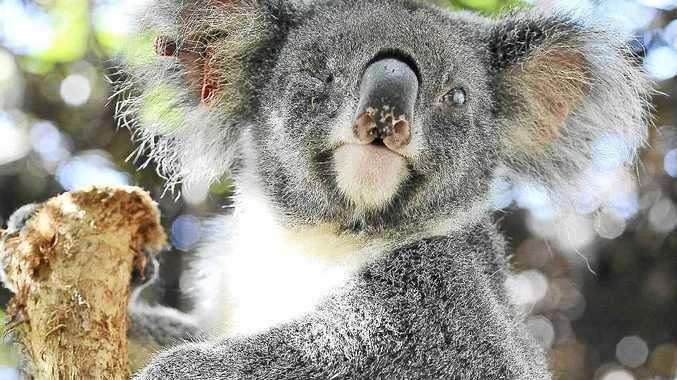 Hera the blind koala at Friends of the Koala.